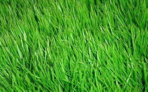 газон,трава
