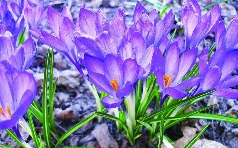крокус,крокусы,луковичные,мелколуковичные,миксбордер,клумба,цветник,цветок