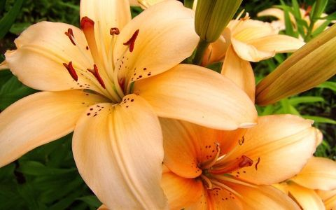 лилии,цветы