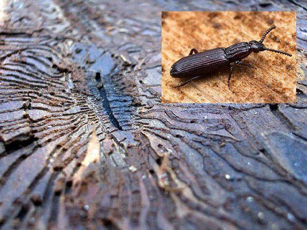 Описание поражений древесины (плесень, грибок, синева)