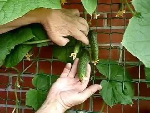 Огурцы на балконе: агротехника выращивания