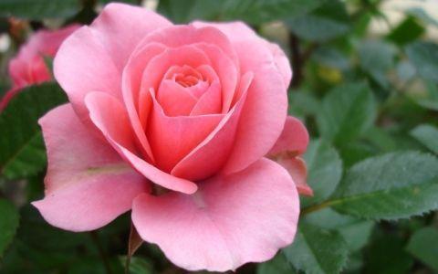 розы,цветы,цветник