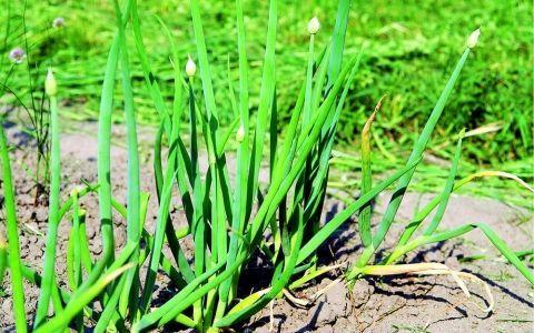 Топ-6 съедобных видов многолетнего лука