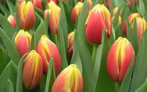 луковичные,сорт,тюльпаны,цветник,цветок,миксбордер