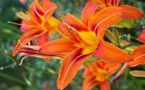 лилейники,цветы,цветник,лилии,уход за цветами,посадка
